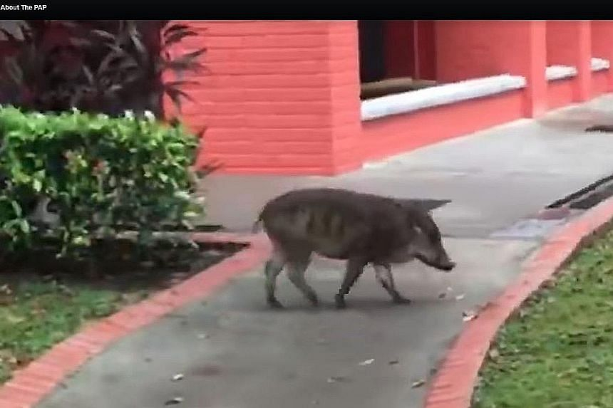 The wild boar is seen in the video sniffing around before it eventually leaves for a forested area.