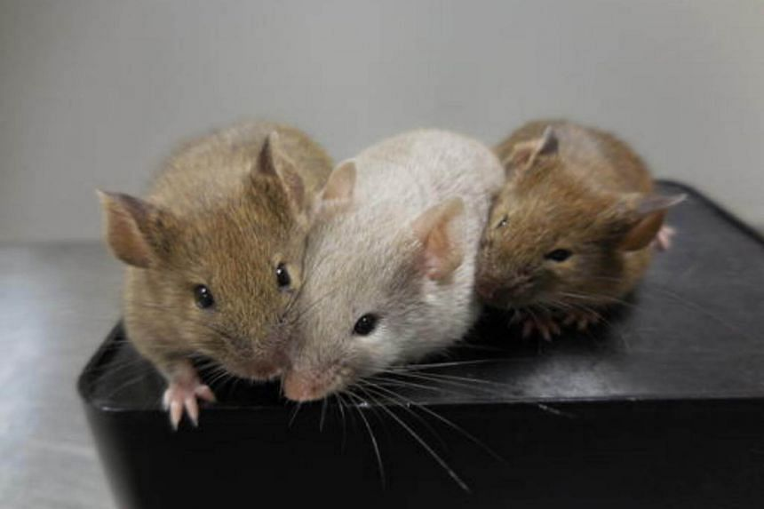 Mice were given an antibiotic that induced a mutation and they developed a wrinkled skin and underwent extensive hair loss in a matter of weeks.