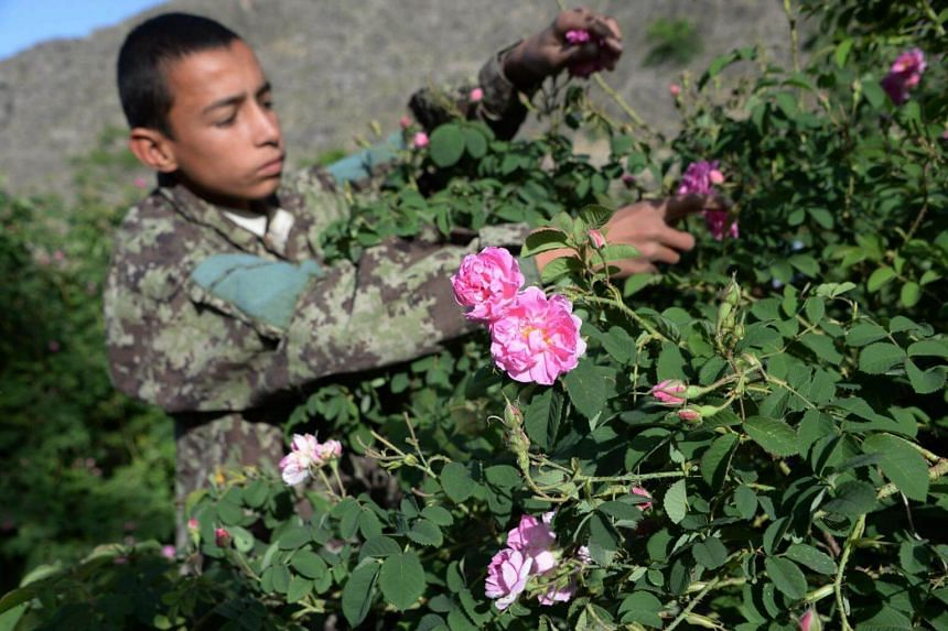 An Afghan farmer harvesting rose petals from a rose garden near Jalalabad in the Dara-i-Noor district of Nangarhar province, on April 24, 2018.