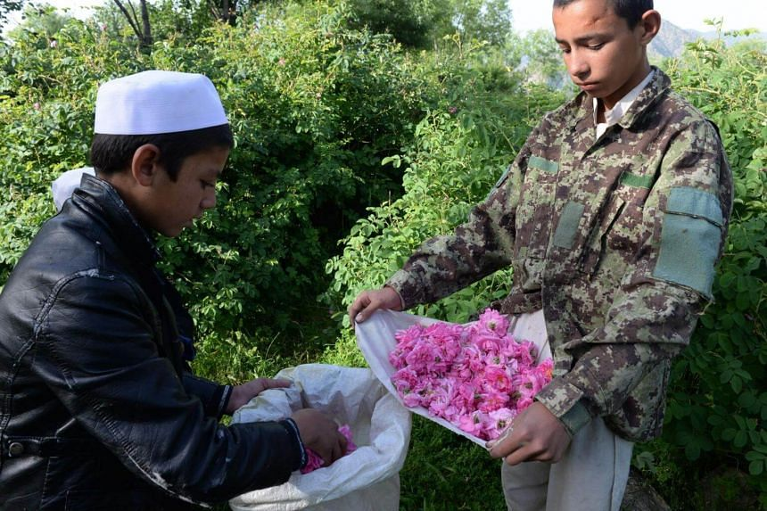 Afghan farmers harvesting rose petals from a rose garden near Jalalabad in the Dara-i-Noor district of Nangarhar, the sixth biggest poppy-producing province.
