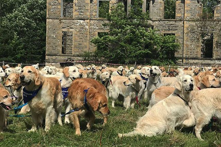 The event was organised by the Golden Retriever Club of Scotland, which said that the mass gathering was its biggest one yet.