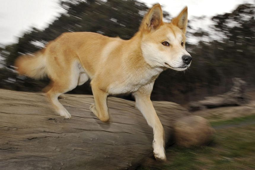 File photo showing a dingo running in Australia. Deb Rundle was on her lunch break when her legs were ravaged by a pack of dingoes.