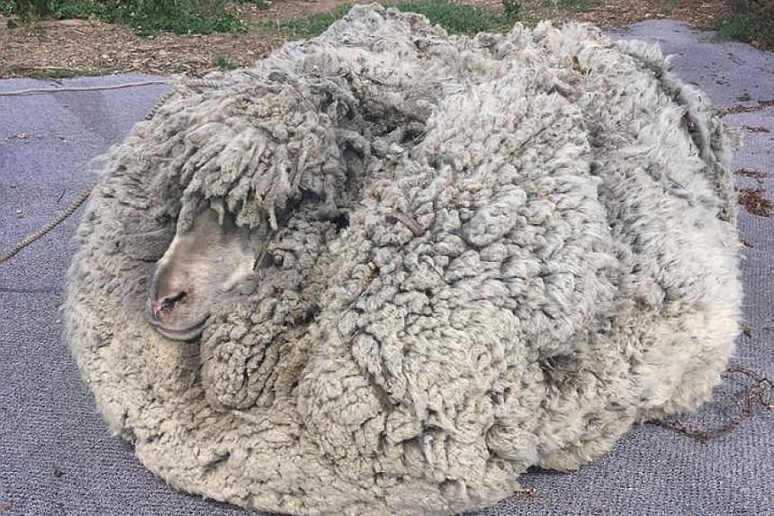 He said a friend found the sheep with several years of growth (above), which he sheared to produce 30kg of wool - more than six times greater than the average amount of fleece.