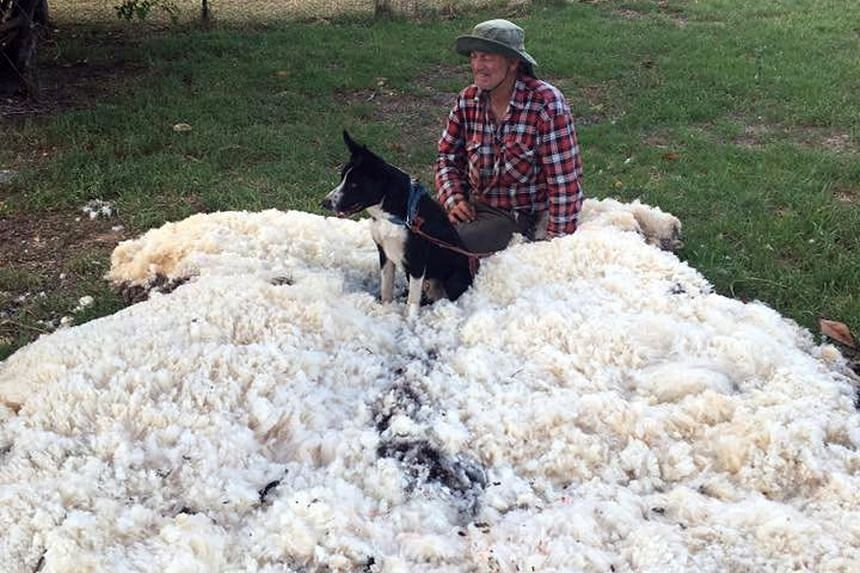 A sheep in eastern Australia is leaping about more lightly after being sheared of its massively overgrown fleece. In a social media post that has gone