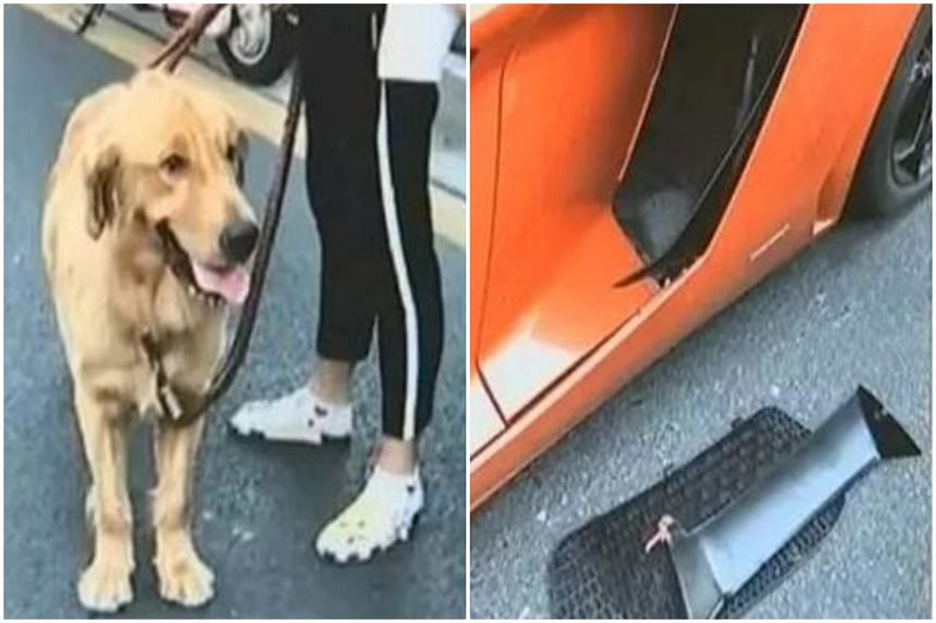 The golden retriever broke free from its leash and damaged an 8 million yuan (S$1.6 million) luxury sports car, resulting in a 45,000 yuan compensation from the dog owner to the Lamborghini driver.