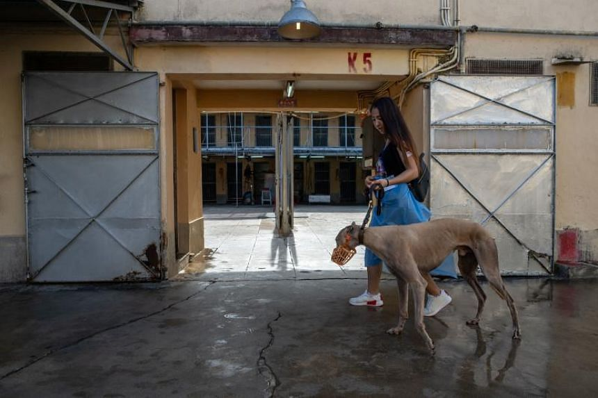 A volunteer walking with a greyhound at the shut down Canidrome Club in Macau, which was Asia's only legal dog-racing track, on July 26, 2018.