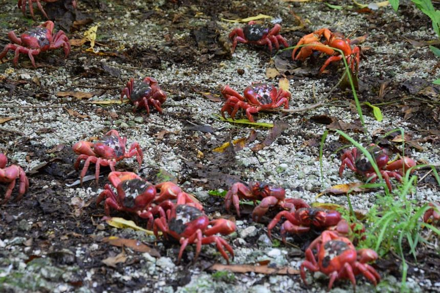 Red crabs on the march after the start of the wet season rains.