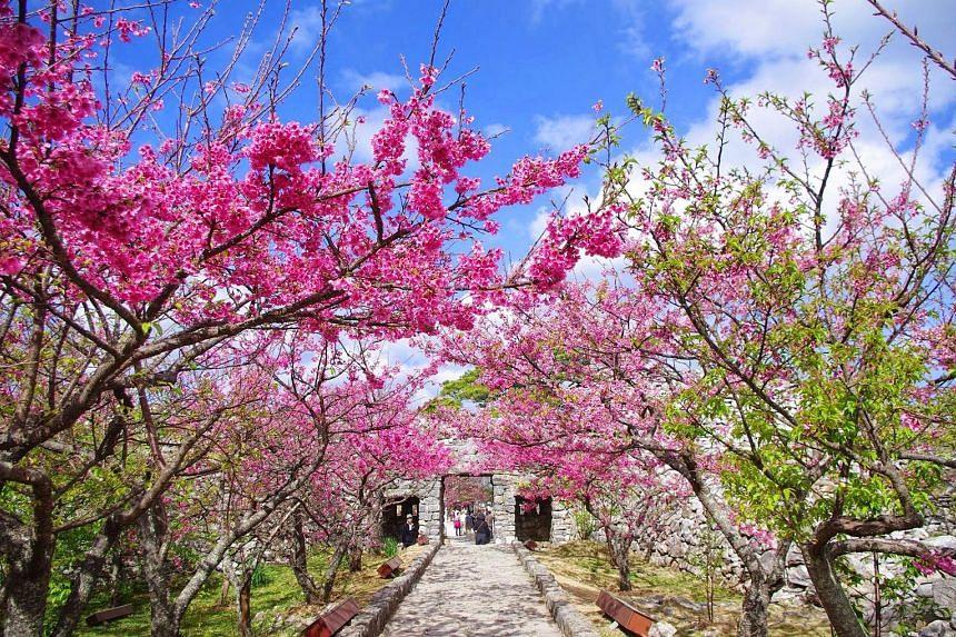 Sakura tour in Okinawa