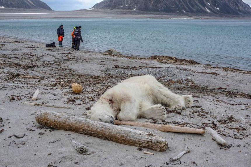 A dead polar bear lies on the beach in Sjuoyane, Norway, on July 28, 2018.