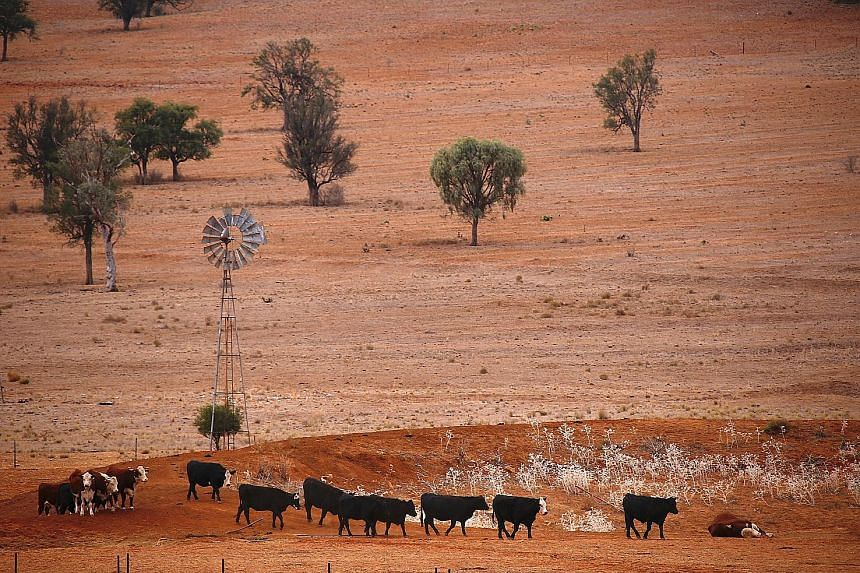 Cattle in a paddock on a property in the Australian state of New South Wales, 99.7 per cent of which is in the grip of a drought. Some farmers are importing feed for their livestock, which can double or triple their costs. Others are selling sheep an