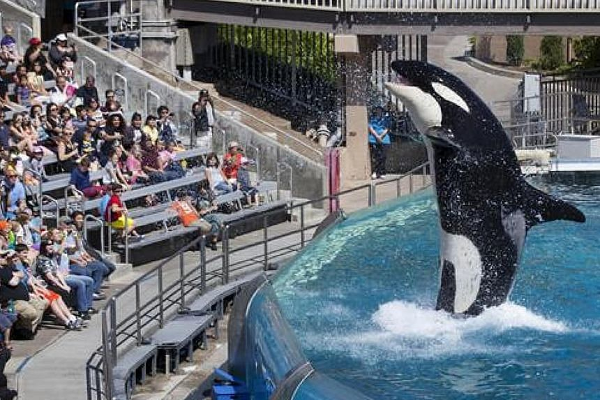 An orca performing at the SeaWorld park in California.