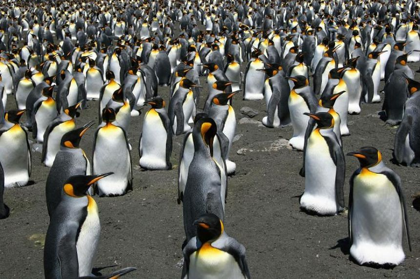 King Penguins from the Possession Island in the Crozet archipelago in an undated photo.
