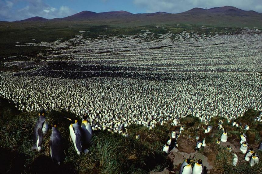 A two-million-strong king penguin colony on Ile aux Cochon, part of France's Iles Crozet archipelago, situated roughly half way between the southern tip of Africa and Antarctica, in 1982.