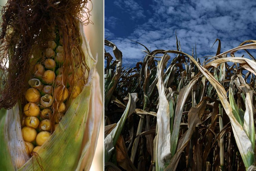 Drought-hit corn crops (above) in Dortmund, western Germany, on Monday.