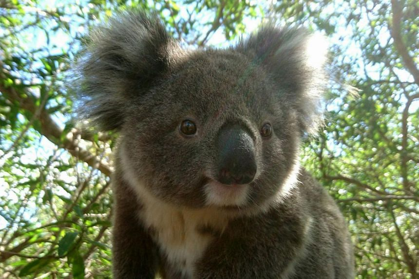 In trying to prevent uncontrolled fires, the clearing of land threatens koalas, which mostly survive off a diet of eucalyptus leaves.