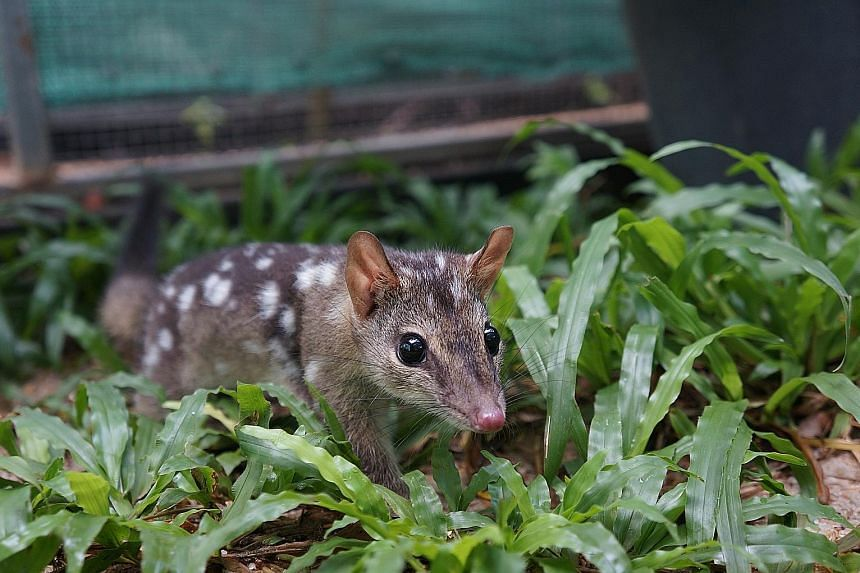 Quolls were dying from eating poisonous toads. To save them, scientists released those without a taste for toads into quoll populations so that their offspring will stop eating toads.
