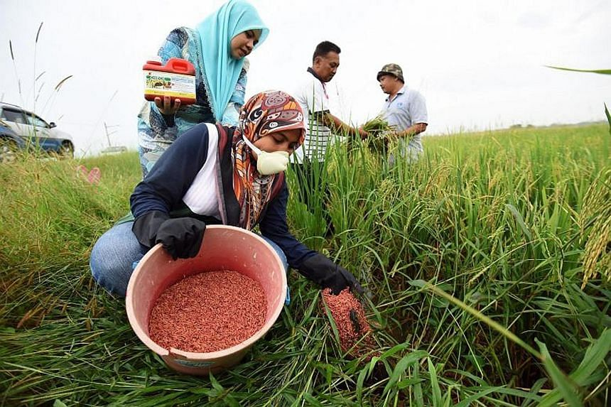 Agriculture Department staff using rodenticide mixed with padi to control the rat population in Kepala Batas on mainland Penang. Ricefield rats are among the most damaging pests to rice crops in the world.