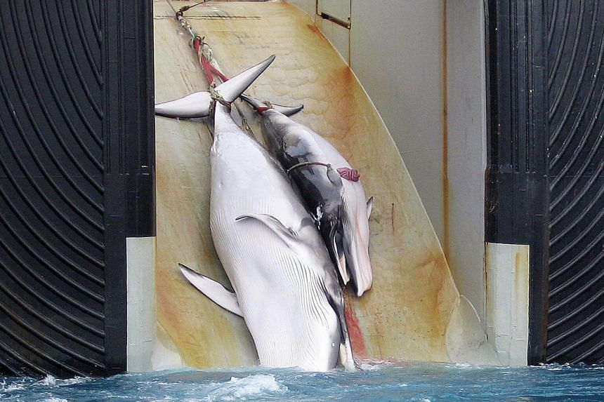 File photo of a mother whale and her calf being dragged on board a Japanese ship after being harpooned in Antarctic waters in 2008. PHOTO: AFP/AUSTRALIAN CUSTOMS SERVICE