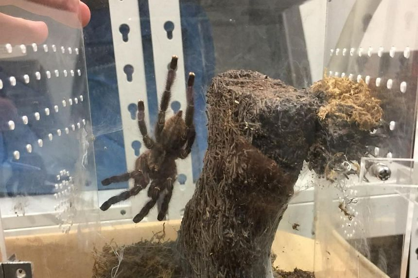 A tarantula found in the residence of Tam Jiaming, 34, who was fined $12,800 for illegally importing and keeping the tarantulas in his home.
