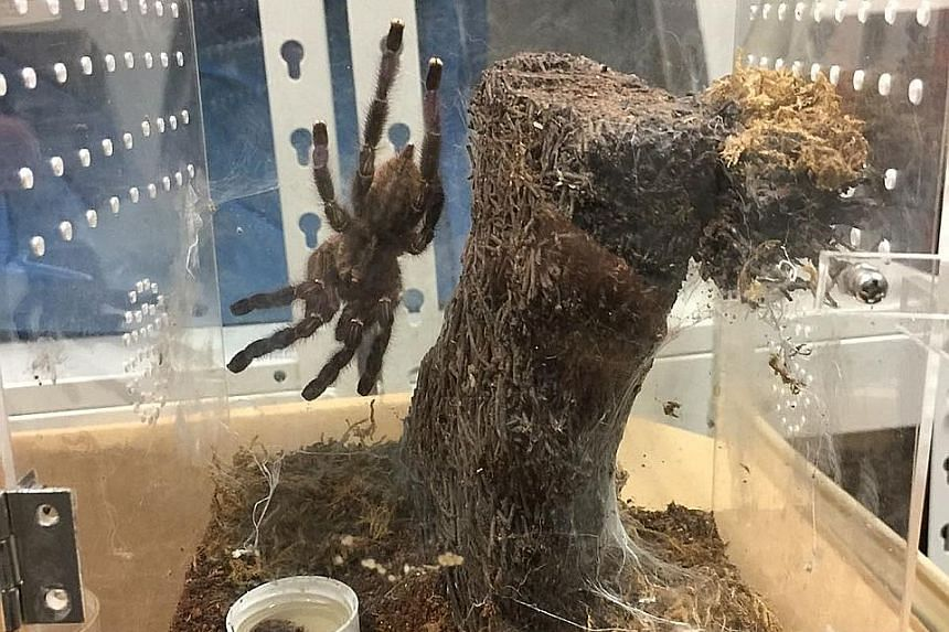 Clockwise from far left: One of the 92 tarantulas found in Tam Jiaming's home; another live tarantula that was found in his possession; six tarantulas found in a sling bag when an Immigration and Checkpoints Authority officer conducted checks as Tam