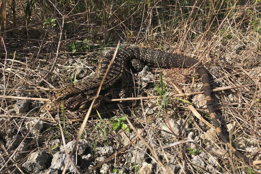 A black and white Tegu lizard is shown in the Florida Everglades on Aug 2, 2018.