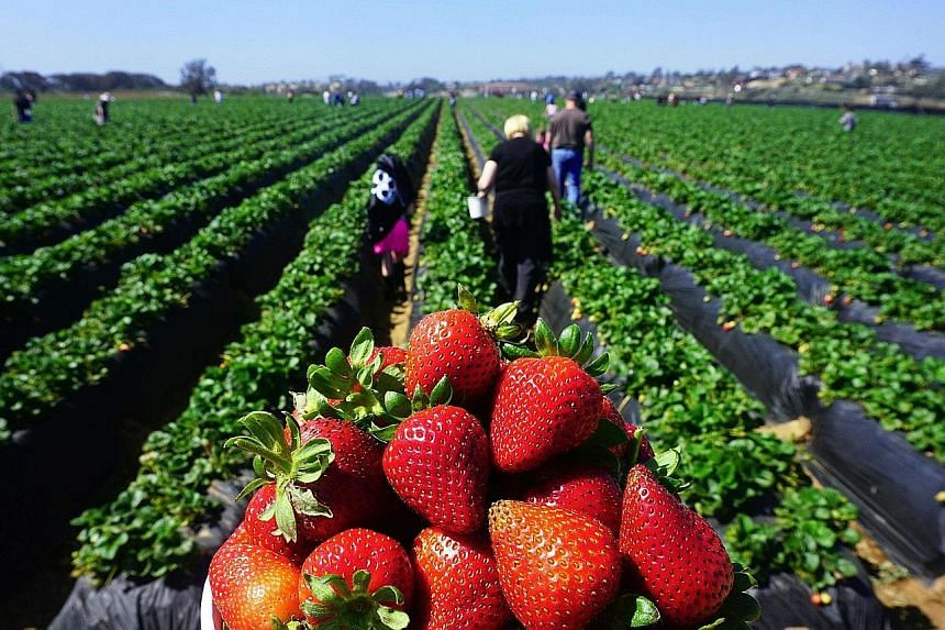 People heading out to pick strawberries in California. The new tariffs threatened by China cover 5,207 goods imported from the United States.