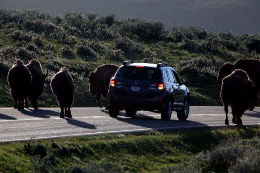 File photo showing a car stopped by a herd of bison in Yellowstone National Park, where a man was seen harassing a bison which was crossing the road.