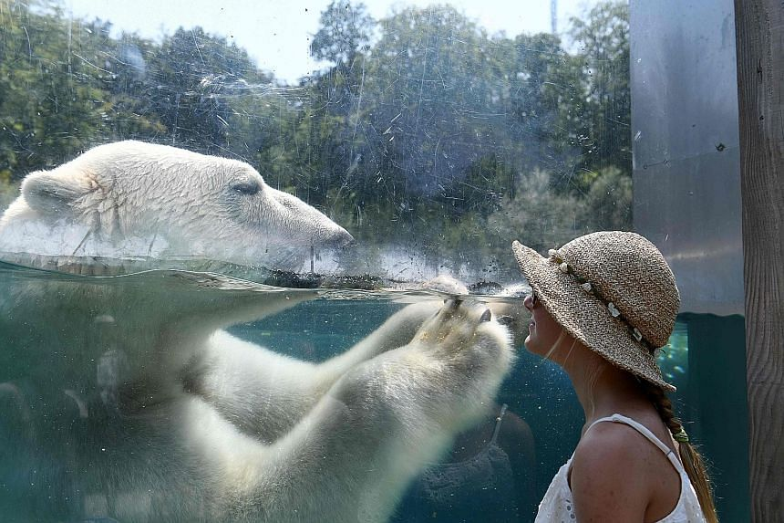 A day at the zoo in the city of Mulhouse in eastern France is a great way to beat the heat - and when a polar bear comes right up to greet you, it has to be the coolest thing yet for any visitor. Many areas were on heatwave alert yesterday and temper