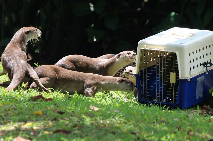 The family of the stranded otter pup, Helios, comes forward to investigate the otter, before their reunion at the pond beside Khoo Teck Puat Hospital.