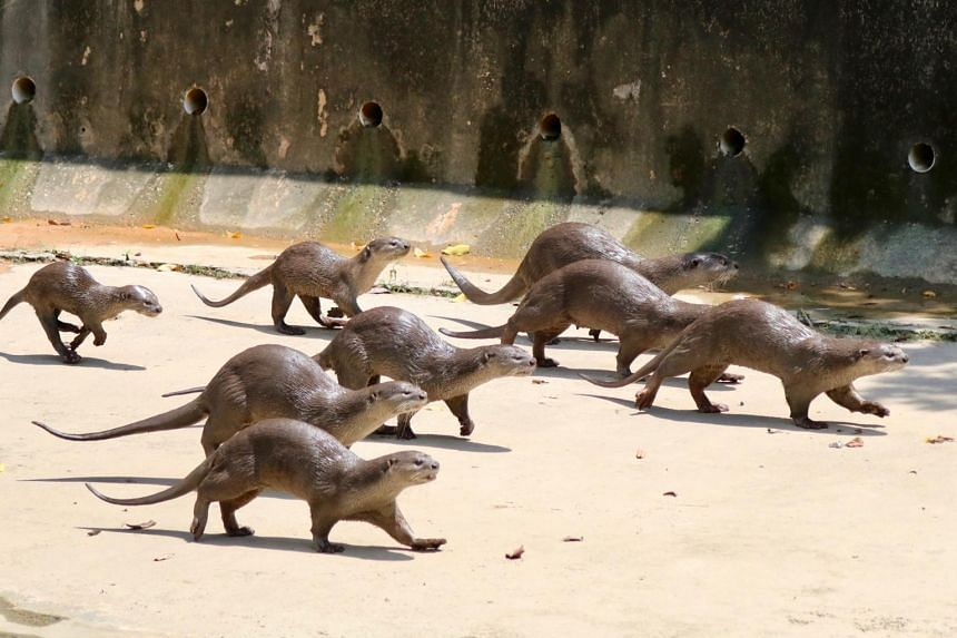 Helios (left most) attempts to keep up with its family as they ran along a canal, after the group's reunion.
