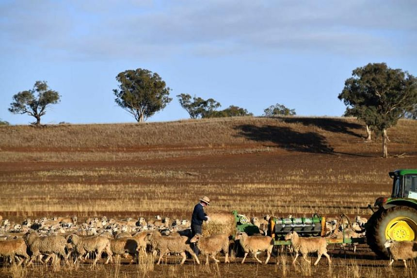 A farmer feeds his sheep with a bale of hay as the land is too dry for grass to grow in the drought-hit area of Duri in New South Wales on Aug 7, 2018.