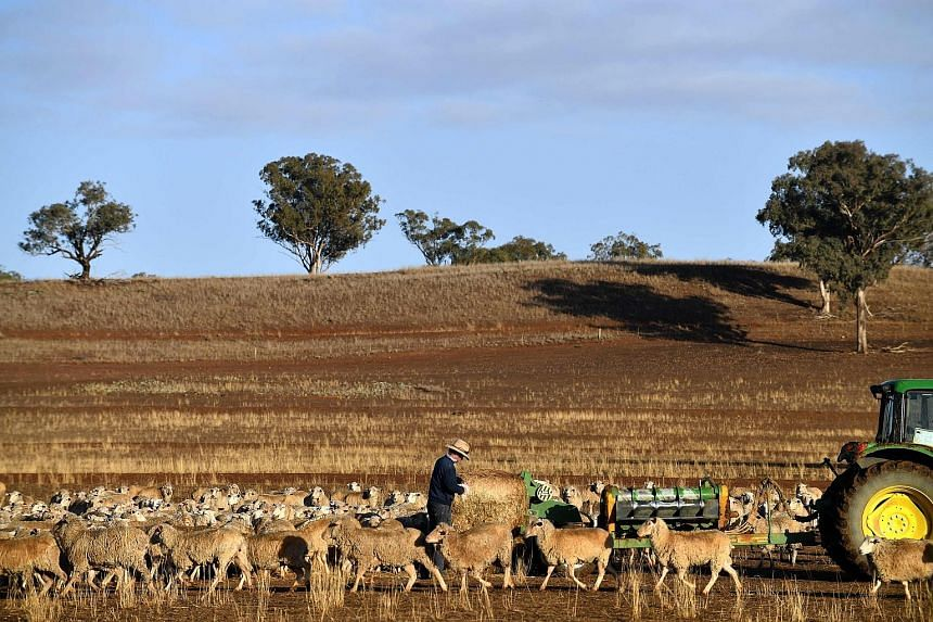 Farmer Clive Barton feeding his sheep a bale of hay as the land is too dry for grass to grow in the drought-hit area of Duri in New South Wales. Others have been forced to shoot starving cattle.