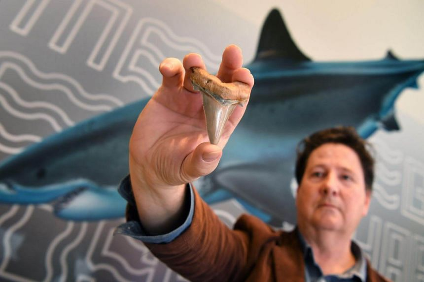 Fossil enthusiast Philip Mullaly holds a giant shark tooth - evidence that a shark nearly twice the size of a great white once stalked Australia's ancient oceans - at the Melbourne Museum, on Aug 9, 2018.