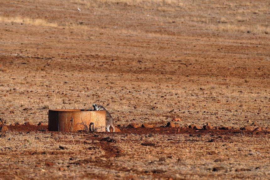 A kangaroo drinks from a water tank located in a drought-effected paddock on a farmer's property, in the town of Gunnedah in north-western New South Wales.