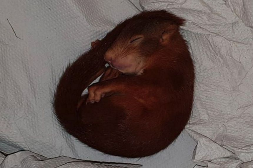 The squirrel was eventually apprehended by police after it grew tired and fell asleep.