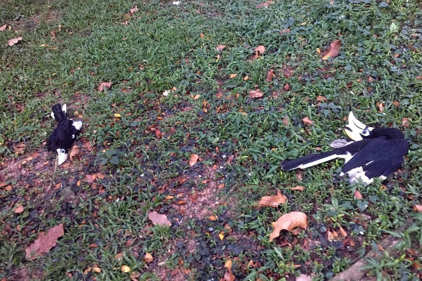 Investigations are ongoing to determine the cause of death of the once-nearly extinct birds. The three hornbills were found dead near the Tanglin Halt Food Centre on Aug 2.