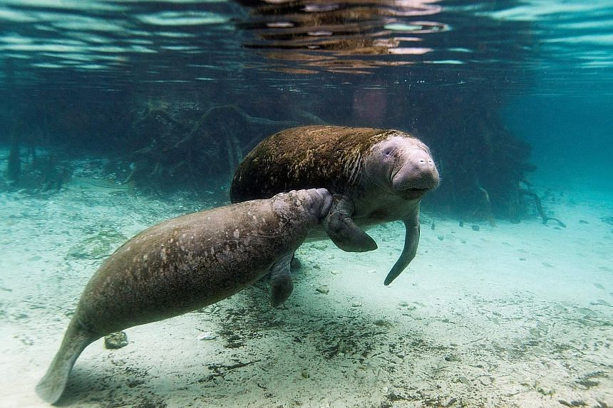 A manatee calf nurses from its mother in Crystal River, Florida. A study has found that manatees and many other marine mammals have lost a gene that makes an enzyme which protects them from harmful chemicals.