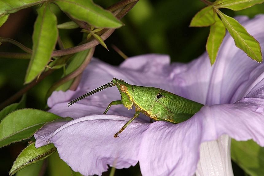 A Phaneroptera brevis katydid visiting the flower of the water Mimosa Neptunia plena. A Tagasta marginella grasshopper on a morning glory flower. Doctoral student Tan Ming Kai's research is important as the findings help farmers distinguish potential