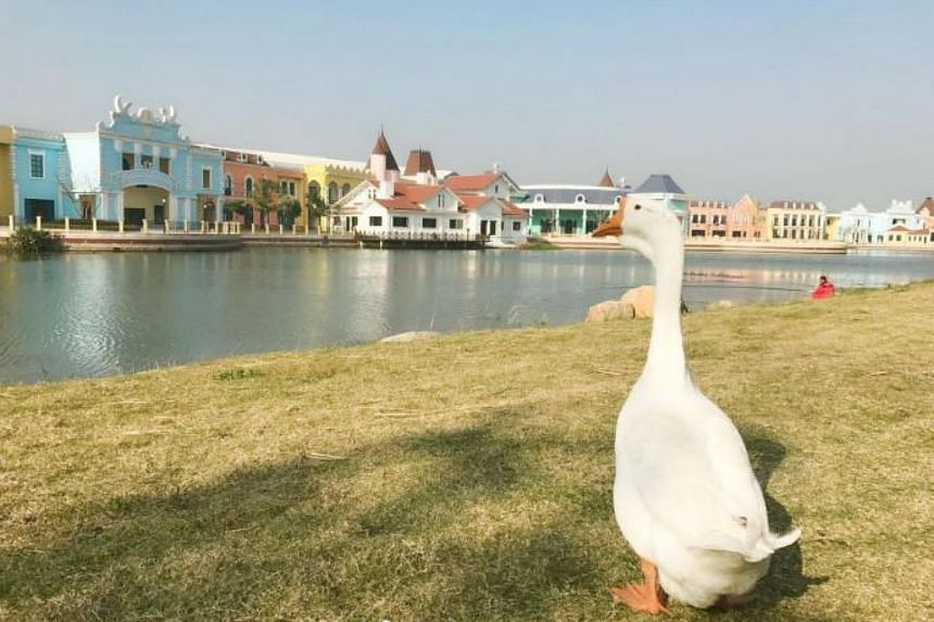 Shanghai Maritime University, which already has a gaggle of free-roaming geese on its campus, was quick to accept Gugu.