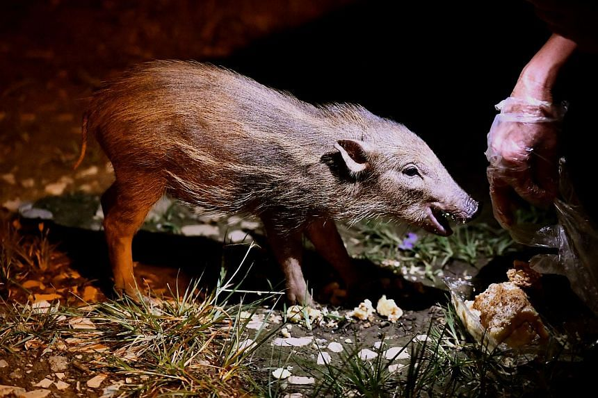 The feeding of animals outside the nature reserve - such as this wild boar being fed bread in Pasir Ris - draws them even farther into public spaces and causes conflicts to start, says Acres.