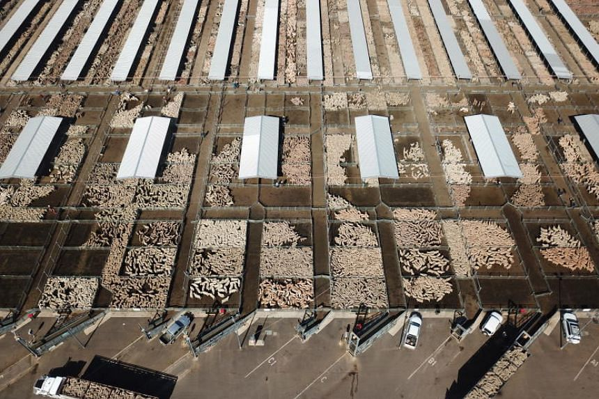 Some of the more than 45,000 sheep being sold at the Central West Livestock Exchange sale yards in Forbes, New South Wales, Australia, on Aug 14 2018. Amid low water supply, worsening crops and fading livestock feed, farmers are offloading their stoc