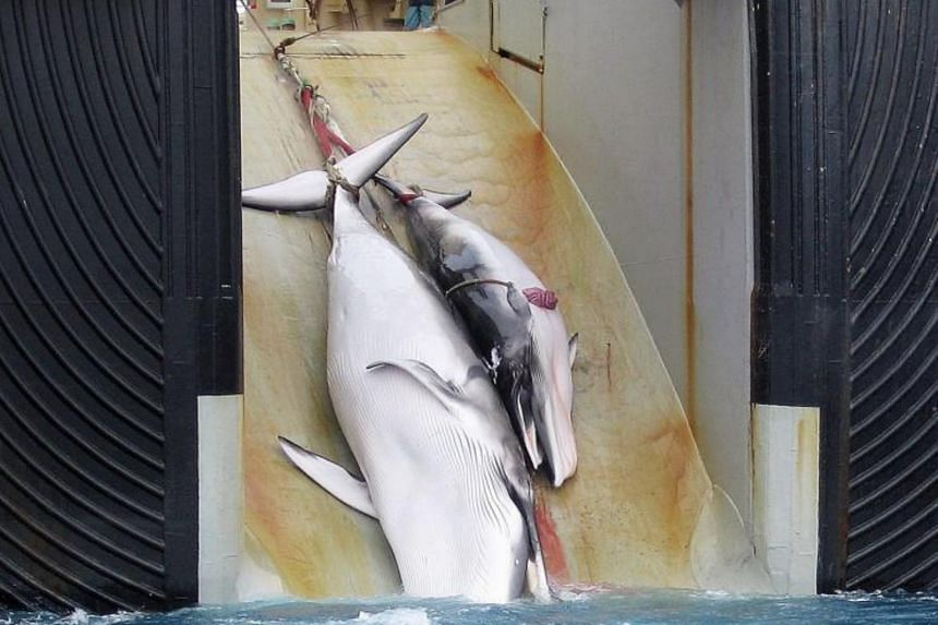 A file photo released on Feb 7, 2008, by the Australian Customs Services shows a mother whale and her calf being dragged on board a Japanese ship after being harpooned in Antarctic waters.