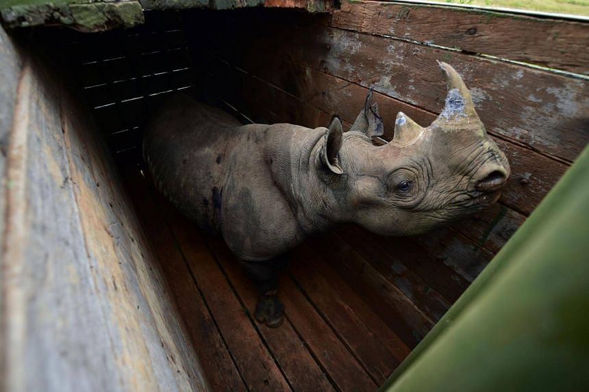 A female black rhinoceros stands in a transport crate in Nairobi National Park, on June 26, 2018. The rhino population has been brutally depleted by poaching and is considered just one step away from being extinct in the wild.