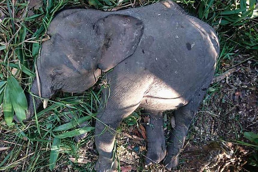 The body of a Borneo pygmy elephant is seen in Kampung Kuala Tongod on Borneo island on July 26, 2018.