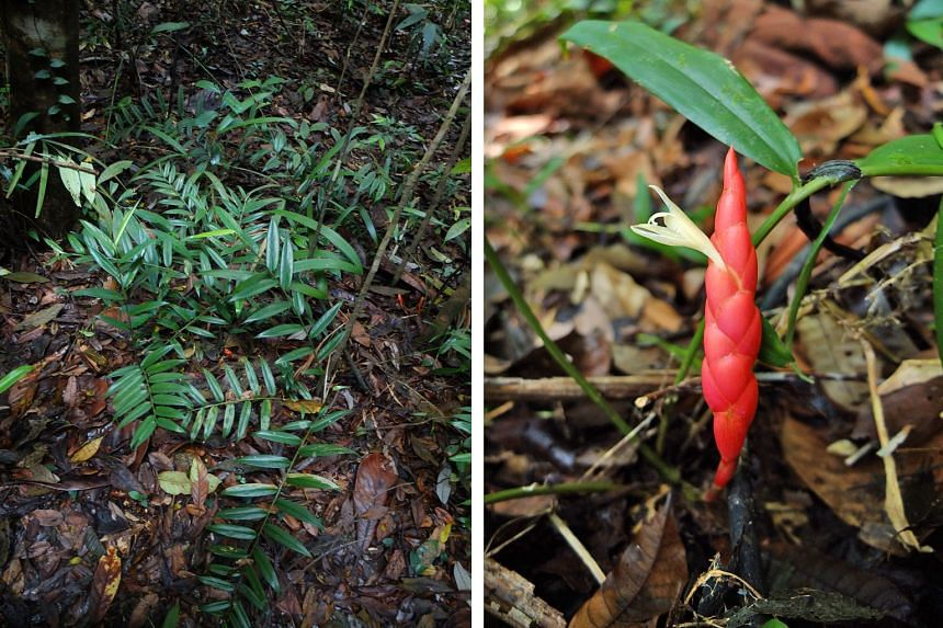 Researchers believe fewer than 50 individual specimens of the Singapore ginger are left in the wild. The plant has smooth stems and glossy narrow leaves, and its flowers are protected by inflated orange-red bracts, giving them a bumpy appearance.