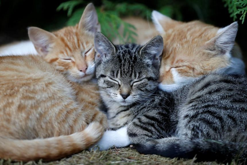 Introduced on Aug 28, 2018, the Omaui proposal would require current cat-izens to be neutered, micro-chipped and registered within six months. After a cat dies, its owner would not be allowed to get another.