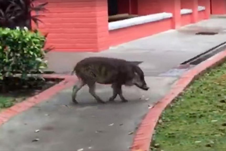 A wild boar spotted in Choa Chu Kang on July 19, 2018.