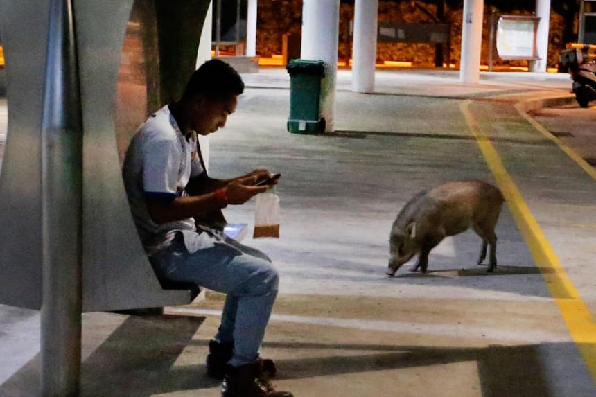 A wild boar spotted next to a man at Tuas Bus interchange on June 15, 2017.