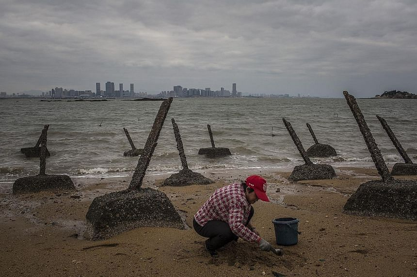 A woman digging for clams amid old tank obstacles on the island county of Kinmen, which is governed by Taiwan but closer in distance to China. Beijing is pulling Kinmen closer into its fold by supplying drinking water to the county's residents.