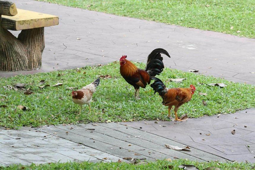 Tampines Town Council said there was an arrangement made to relocate the chickens on Aug 17, 2018, adding that there have been no additional attempts to trap the birds since.